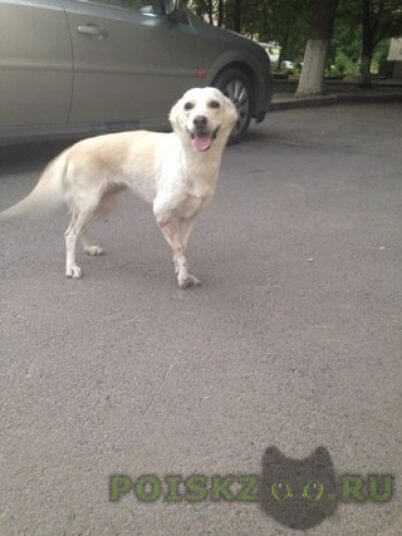 Найдена собака породу не знаем, похожа на метиса лабрадора и лайки г.Ростов-на-Дону
