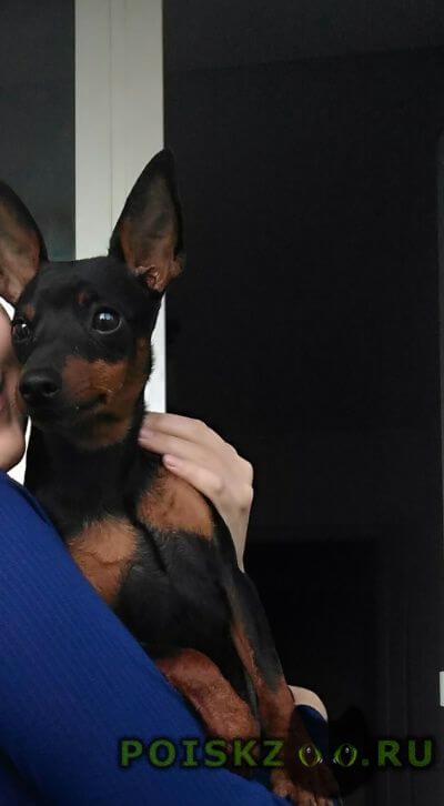 Пропала собака кобель помогите   цвергпинчер г.Саратов