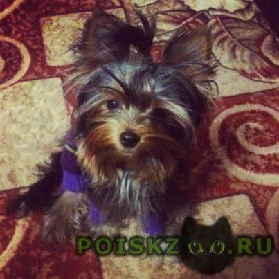 Пропала собака кобель мой маленький любимец г.Санкт-Петербург