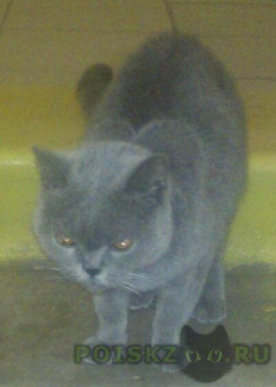 Найдена кошка кот или британской породы в некрасовке г.Москва