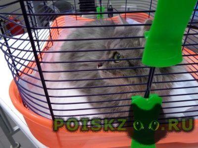 Найдена кошка серая пушистая в воротнике г.Троицк