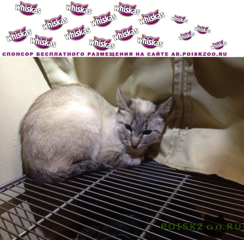 Найдена кошка чья тайская ? г.Одинцово