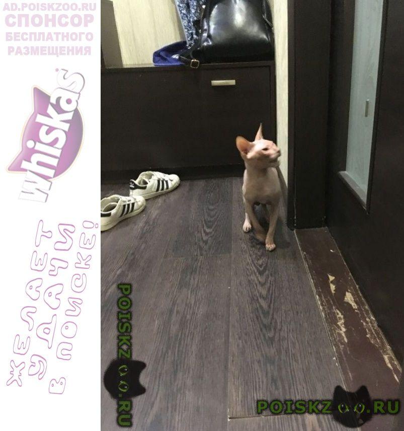 Найден кот, сфинкс г.Сургут