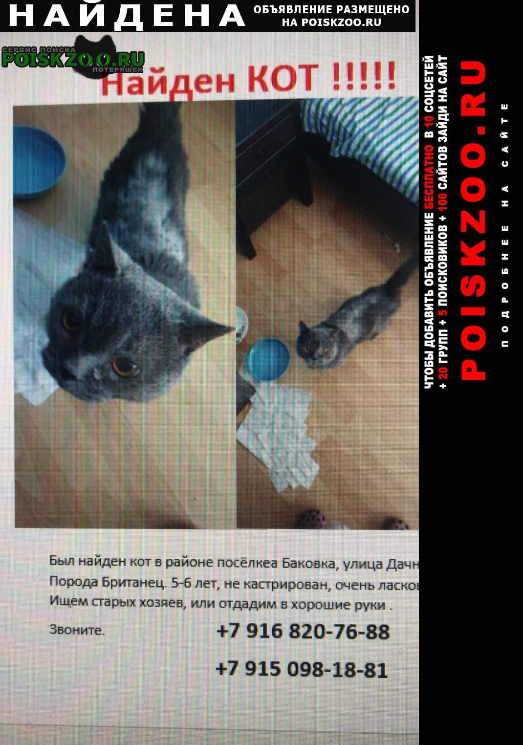 Найден кот британский Одинцово