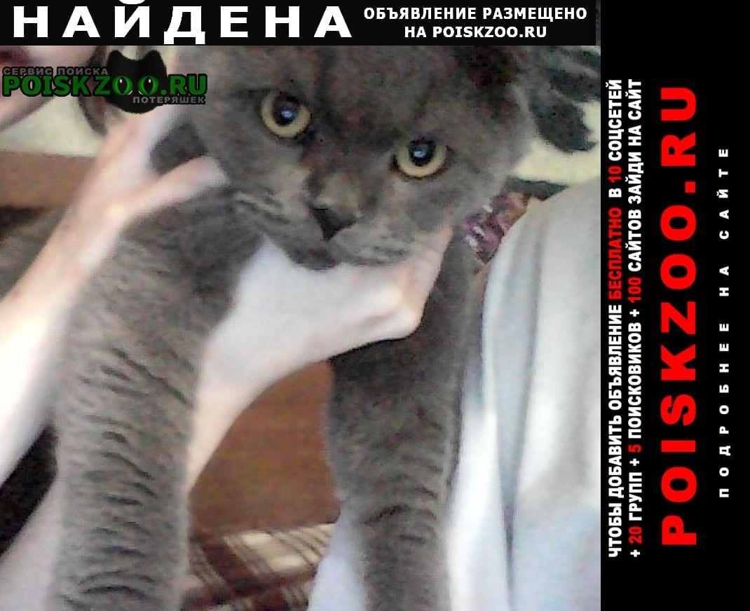 Найден кот шотландская вислоухая Москва