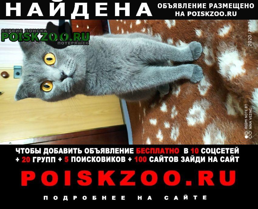Найдена кошка шотландской породы Москва
