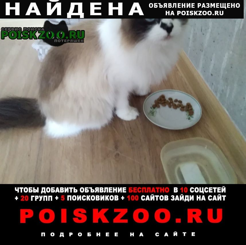Найдена кошка порода рэгдолл Вологда