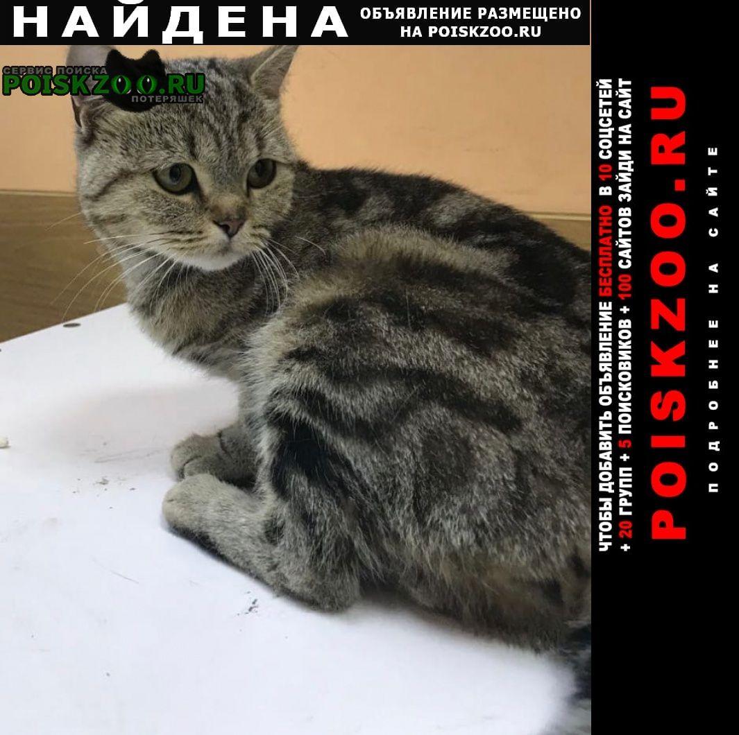 Барнаул Найдена кошка шотландец