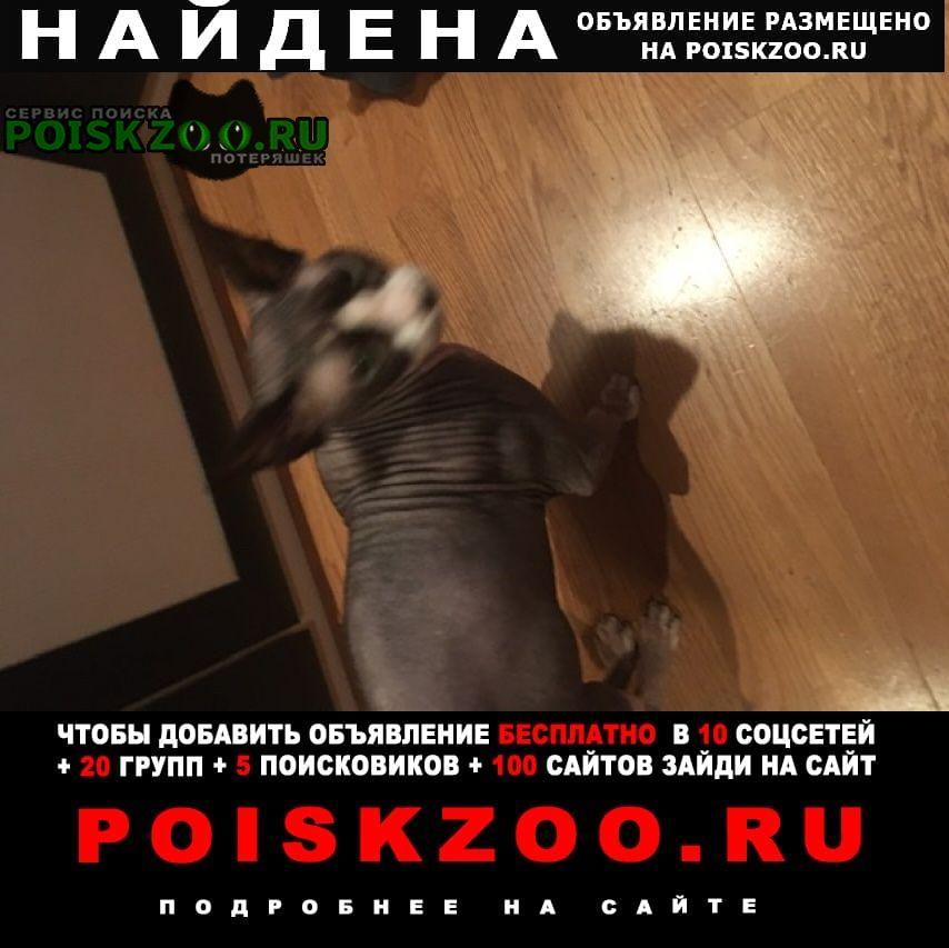 Найдена кошка кот породы сфинкс Москва