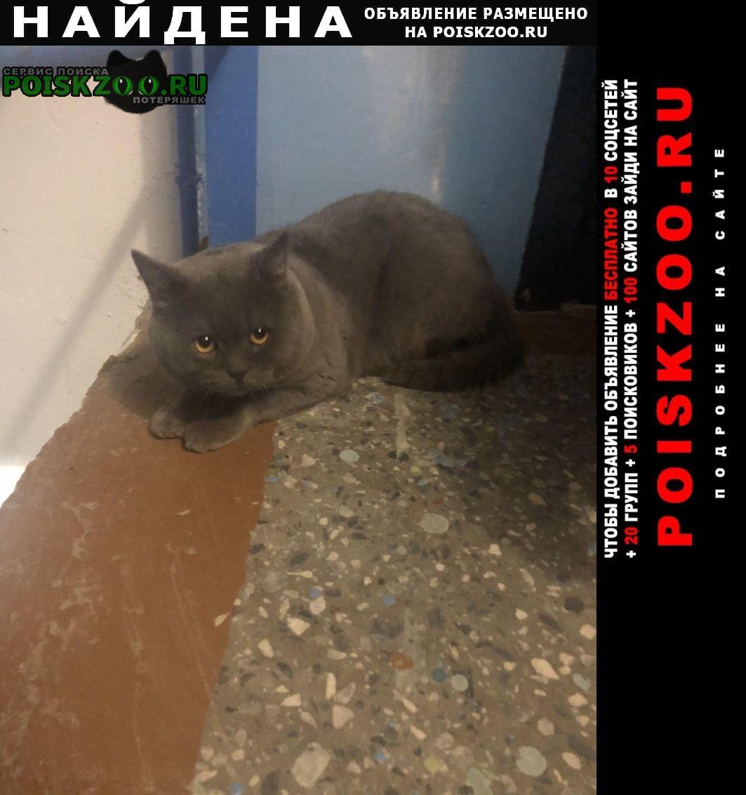 Найдена кошка кот британской породы Нижний Новгород