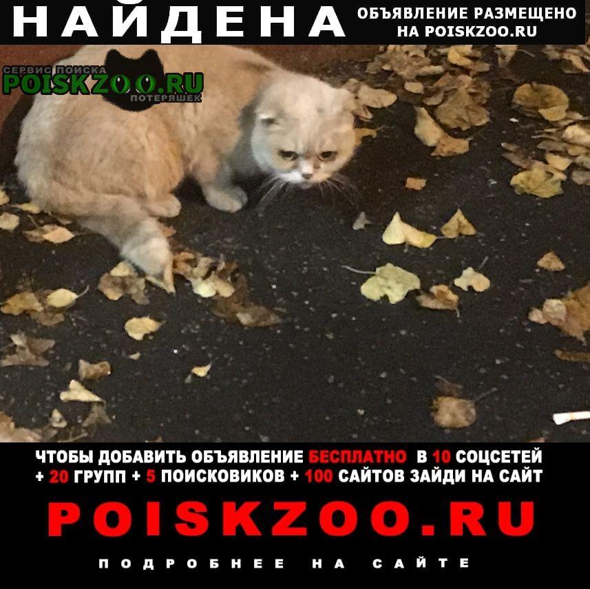 Найдена кошка вислоухая шотланская или британская Химки
