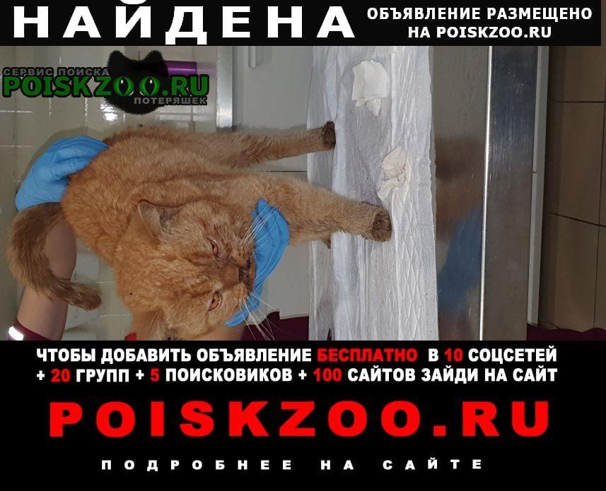 Найдена кошка рыжий кот похож на британца Пушкин