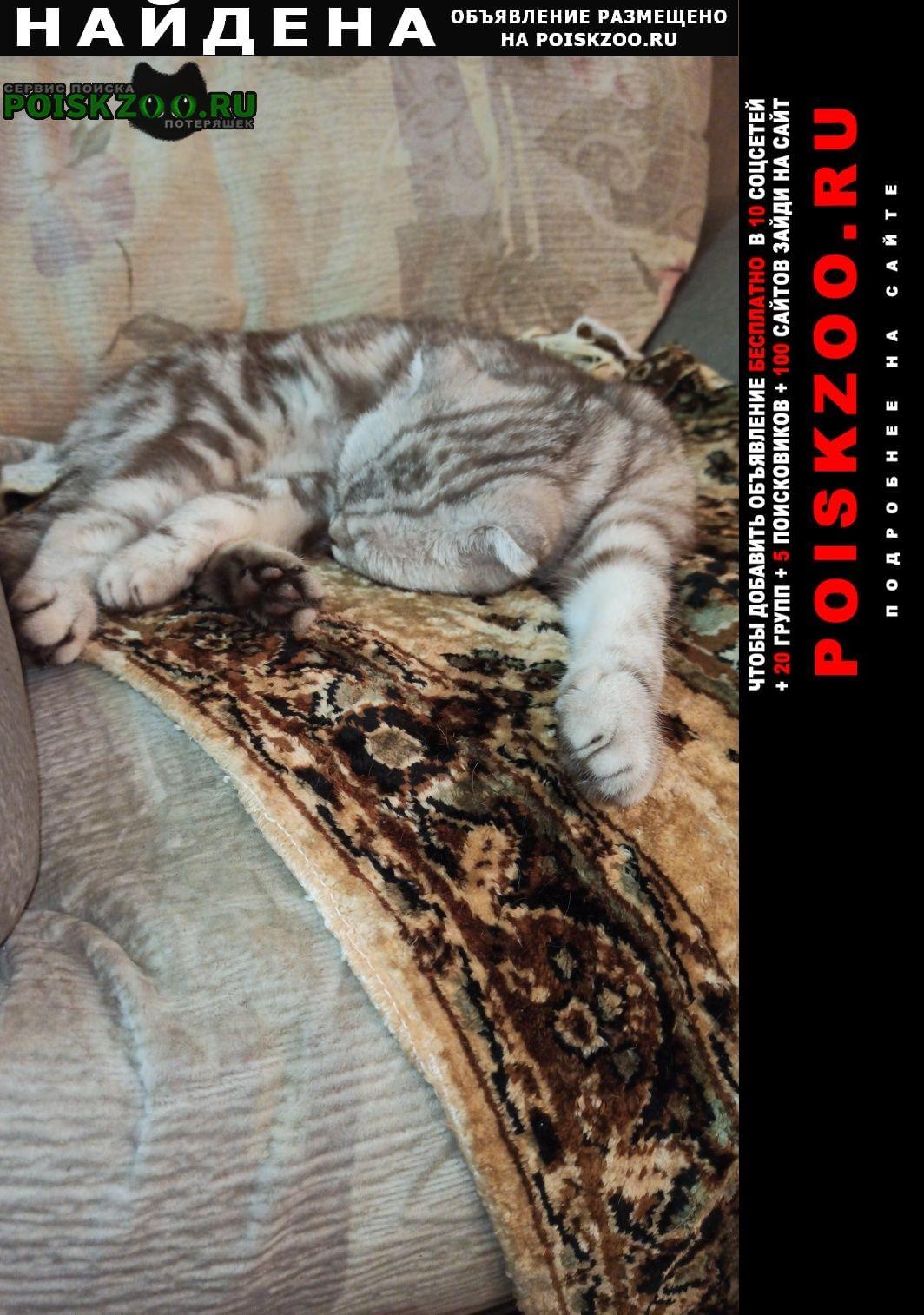 Найдена кошка молодая шотландская кошечка Саратов
