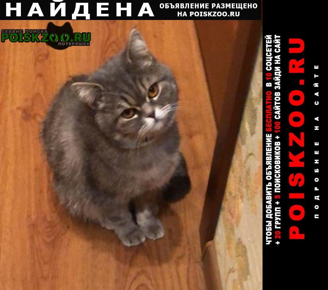 Найдена кошка шотландская кошечка Ставрополь