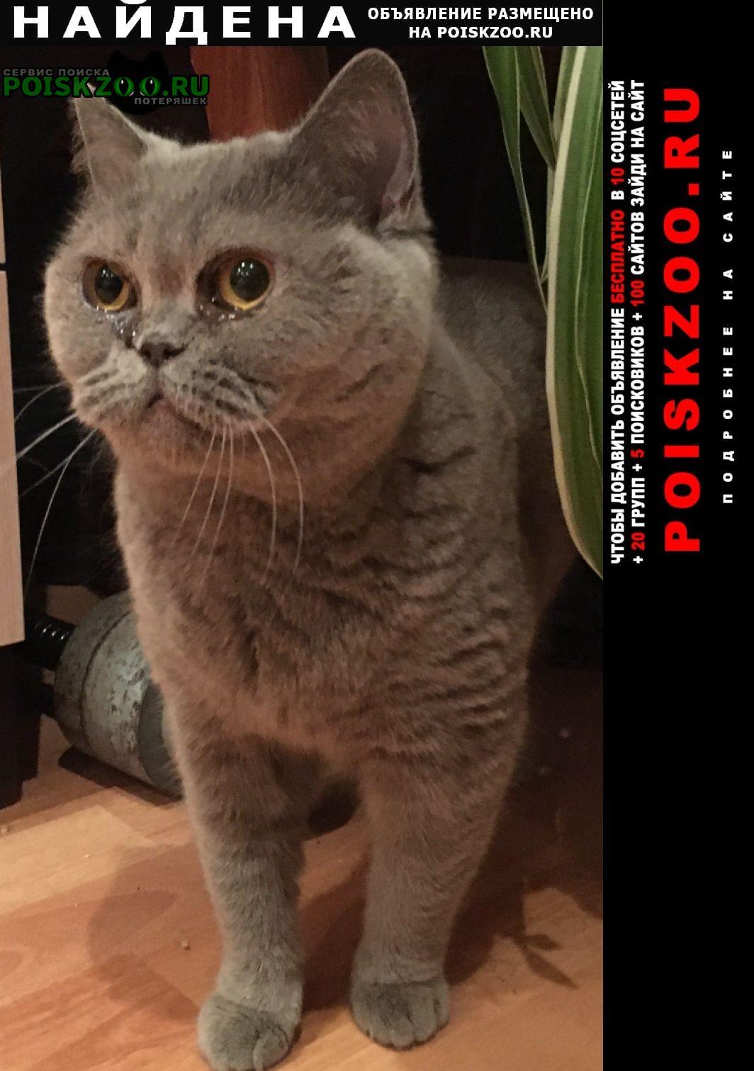 Найдена кошка британская. Павловский Посад