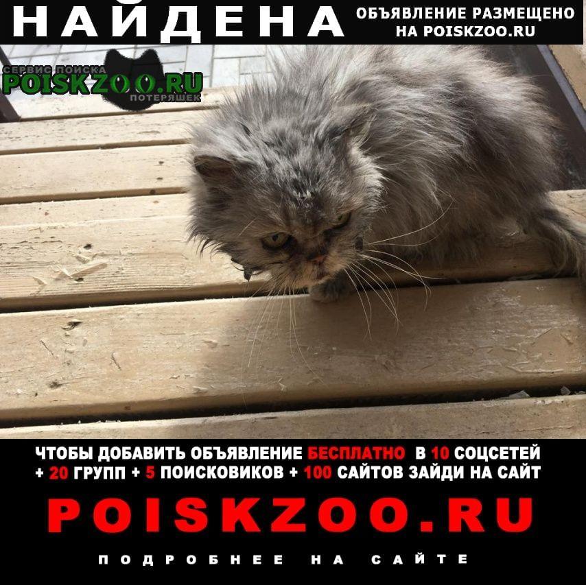 Найден кот (кошка) перс, серого цвета Торжок