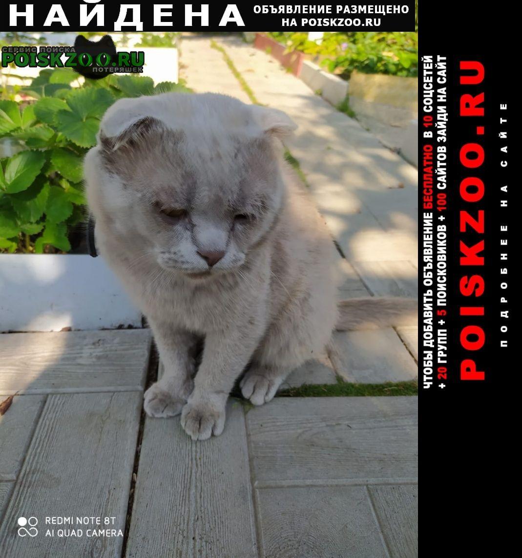 Найдена кошка шотландский вислоухий с черным ошейником Калуга