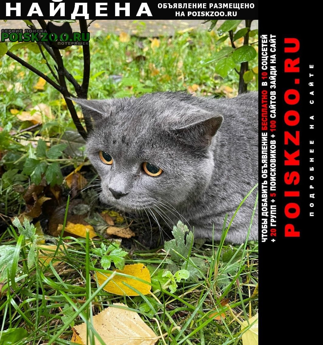 Найден кот британский ул. Москва