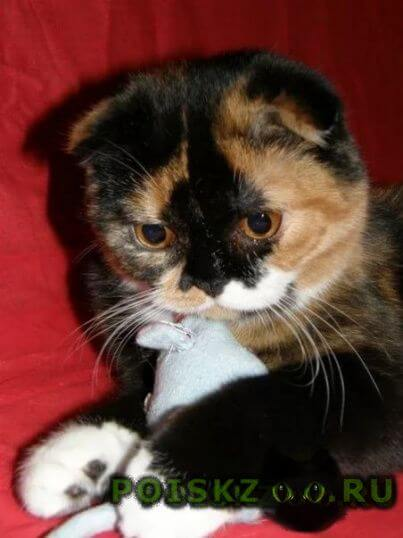 Найдена кошка шотландская вислоухая г.Саратов