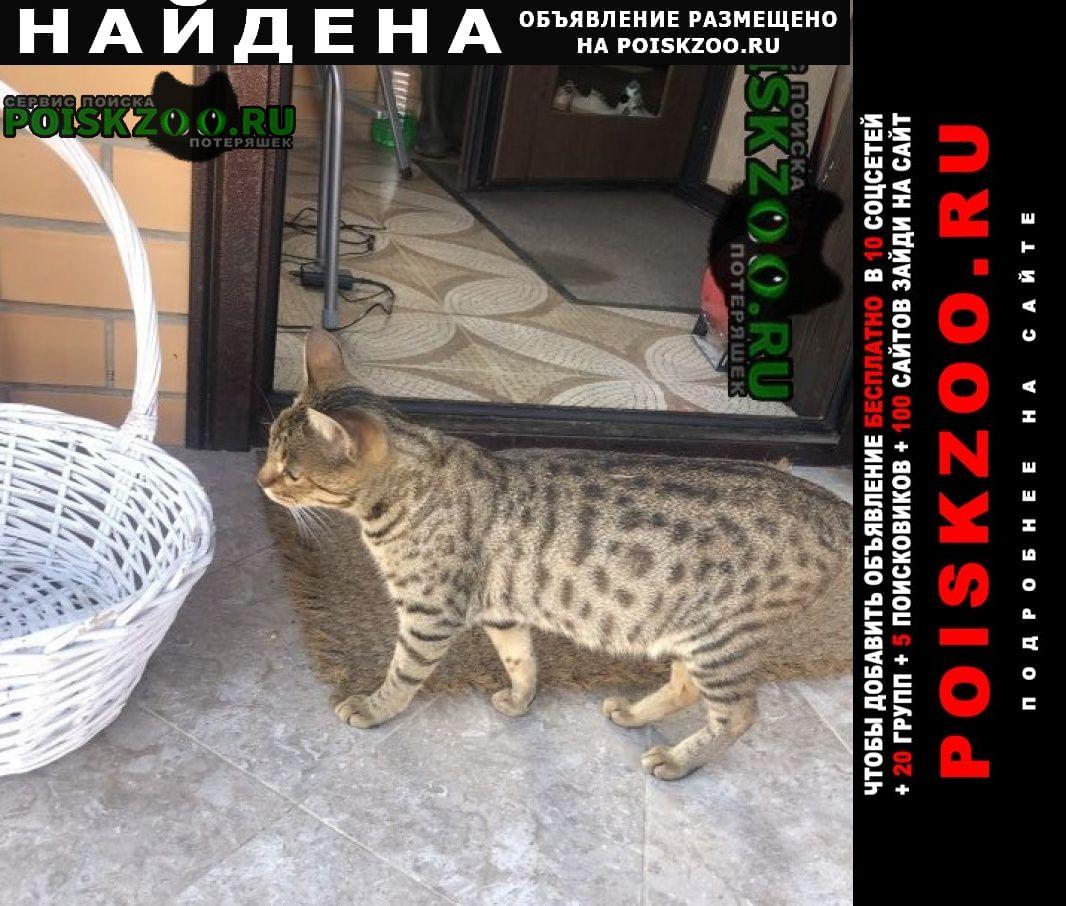 Найдена кошка бенгальская Смоленск