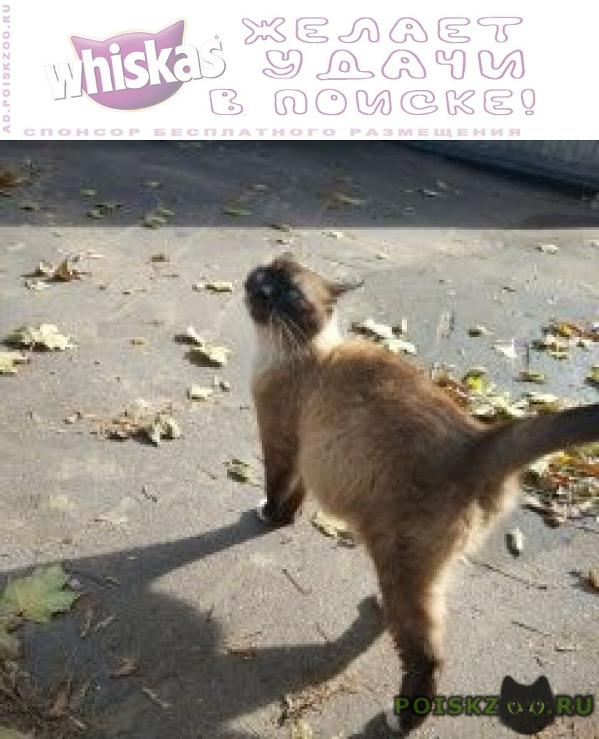 Найдена кошка тайская кофе с молоком г.Москва