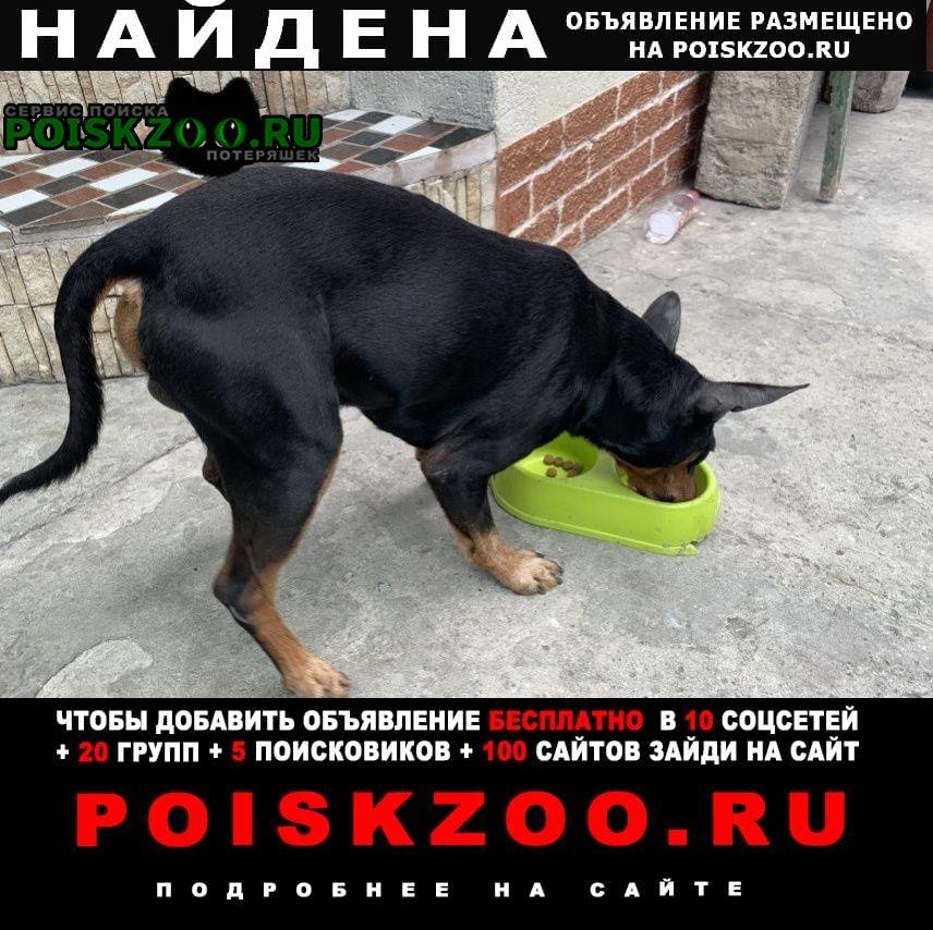 Найдена кошка кобель пинчер Новороссийск