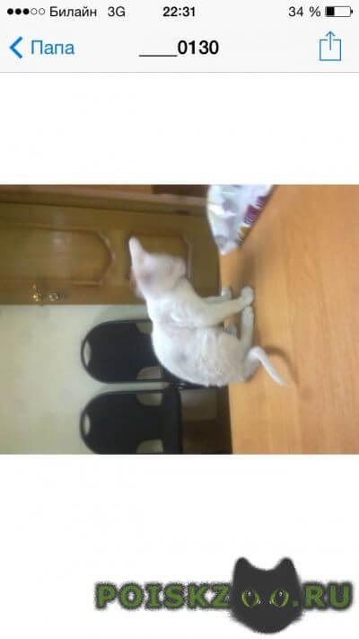 Найден котёнок корниш рекс г.Зеленоград
