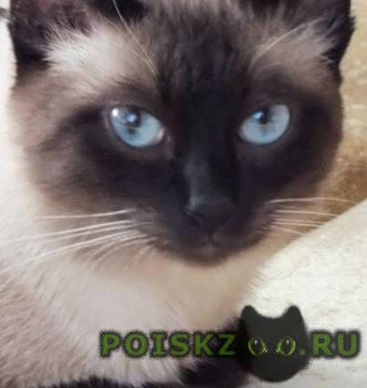 Найден кот тайский г.Ульяновск