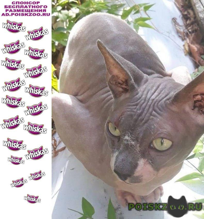 Найдена кошка канадский сфинкс г.Сочи