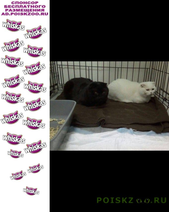 Найдена кошка ищут хозяина два британца г.Москва