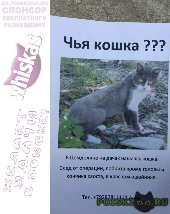 Найдена кошка бритая как лев г.Новороссийск