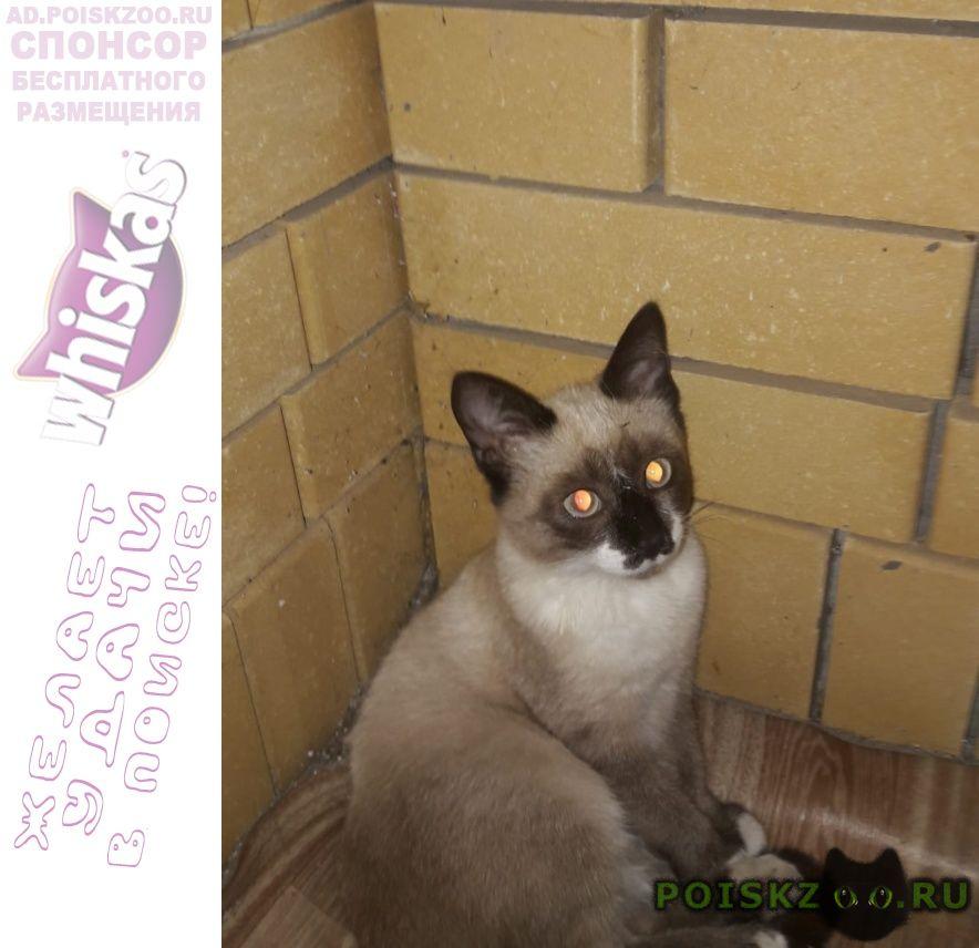 Найдена кошка сиамская молодая кошечка г.Ессентуки