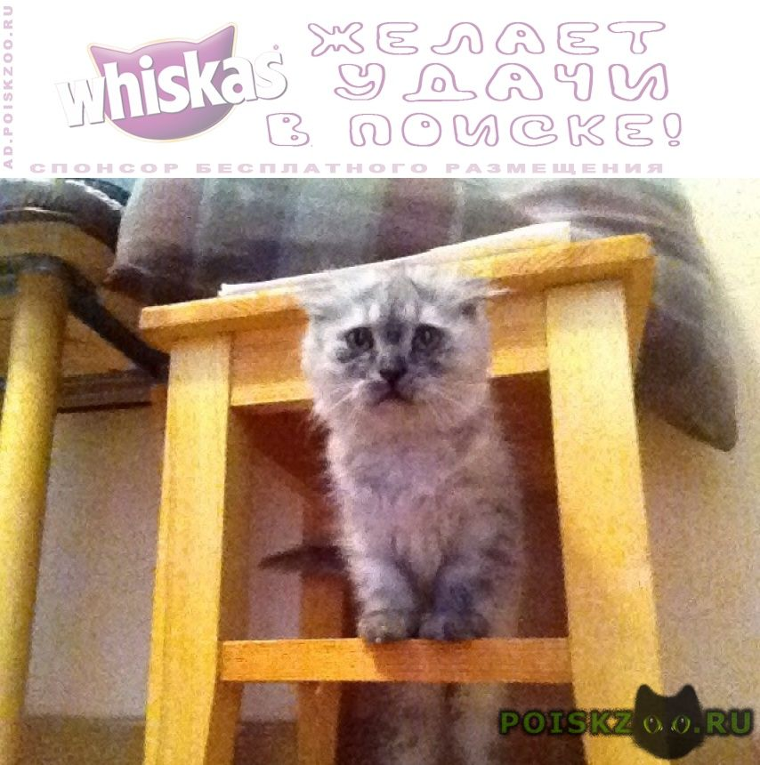 Найдена кошка близкий метис шотландской вислоухой кошк г.Москва