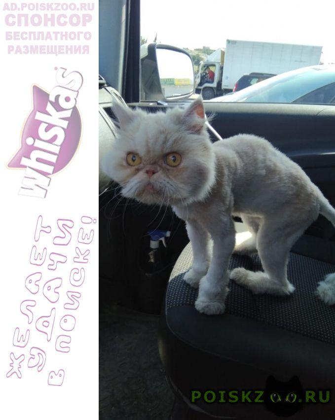Найдена кошка кошечка персидской породы г.Севастополь