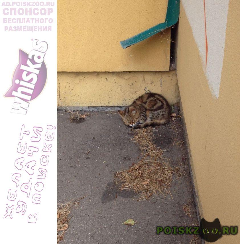 Найдена кошка шотландская г.Москва