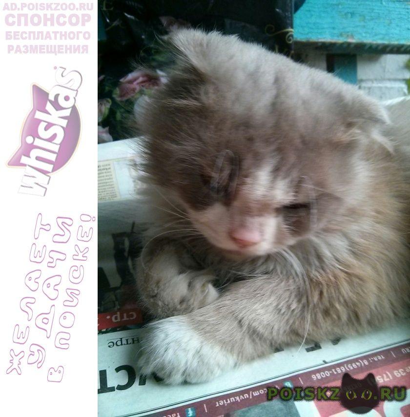 Найден кот вислоухий, с янтарными глазами г.Москва
