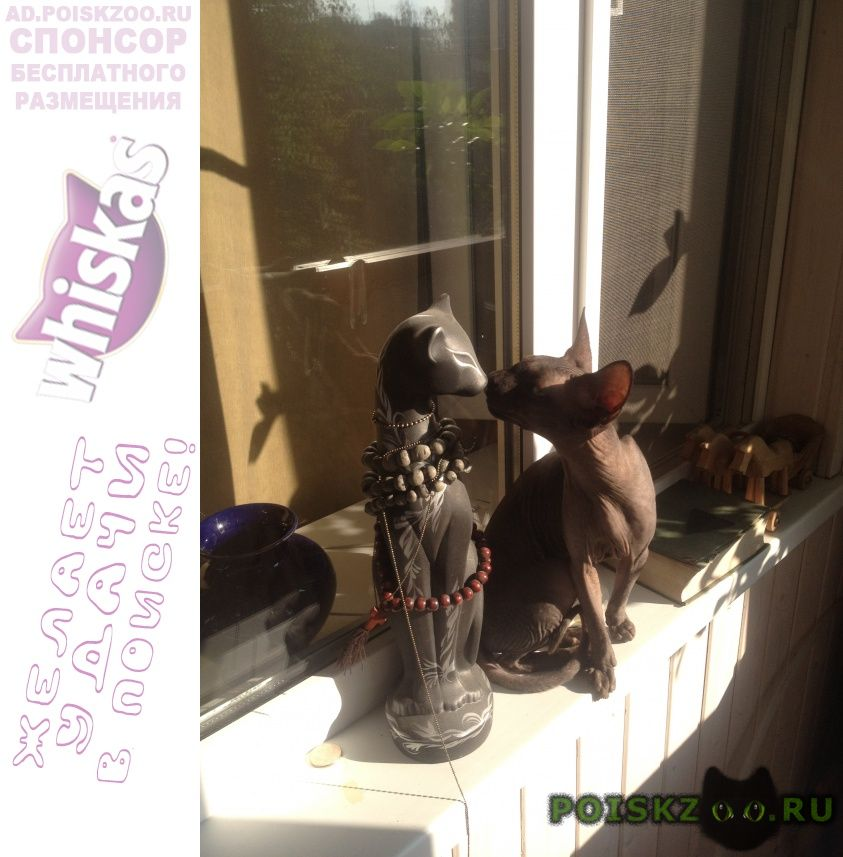 Найдена кошка сфинкс на голове пятно г.Нижний Новгород