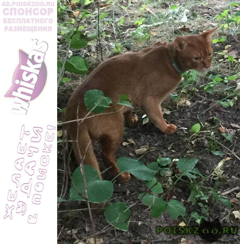 Найден кот абиссинской породы г.Кокошкино