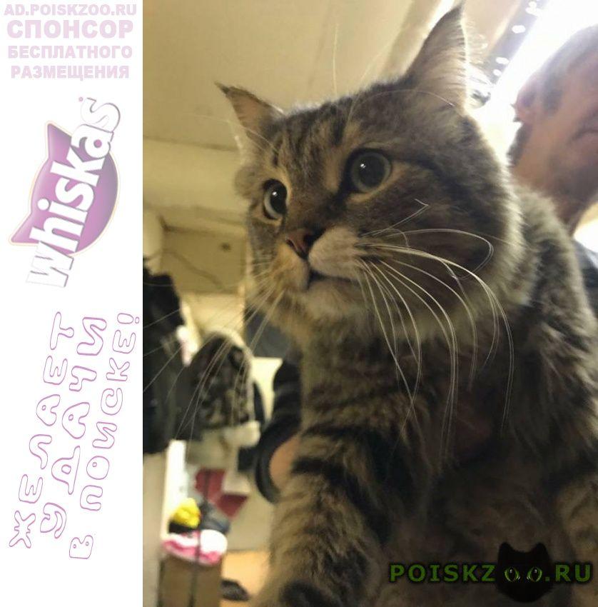 Найдена кошка сибирская или метис г.Москва