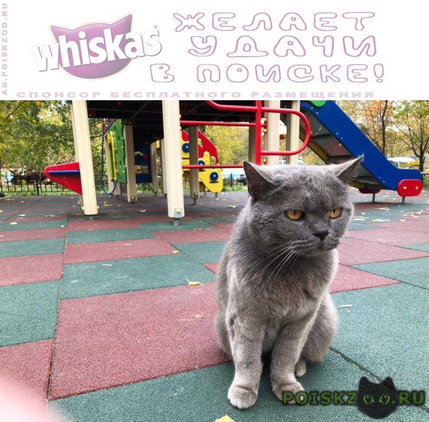 Найден кот серый британец г.Мытищи