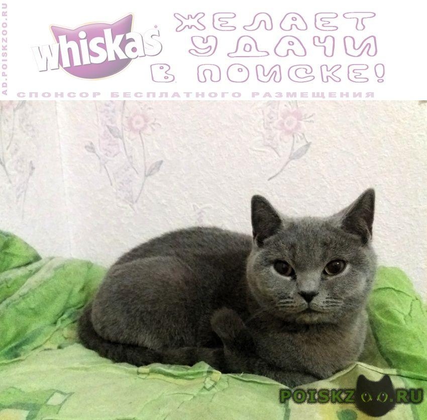 Найдена кошка британская короткошёрстная г.Севастополь