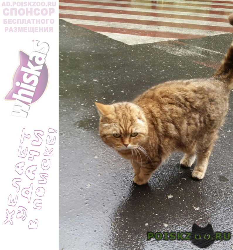 Найдена кошка британка автозаводская ул. г.Москва