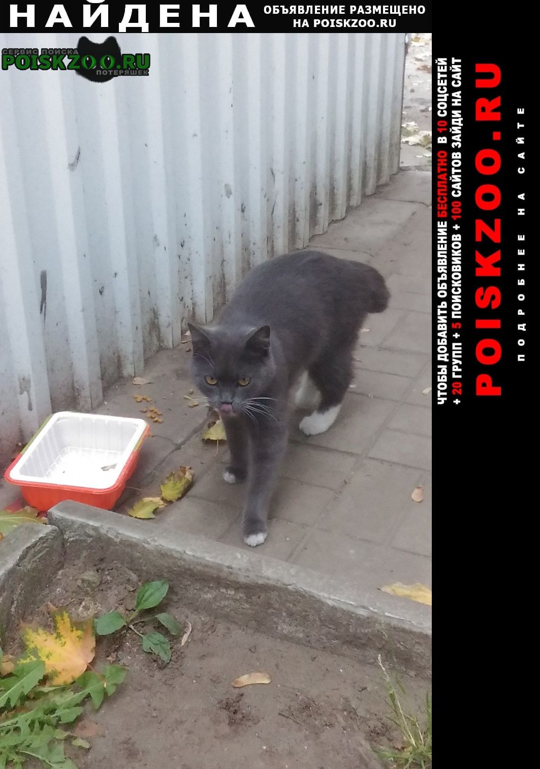 Найдена кошка дымчатая с обрубленным хвостом Белозёрский