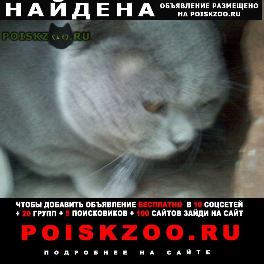 Найден кот британский г.Курск