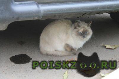 Найдена кошка возрастом где-то около года г.Красноярск