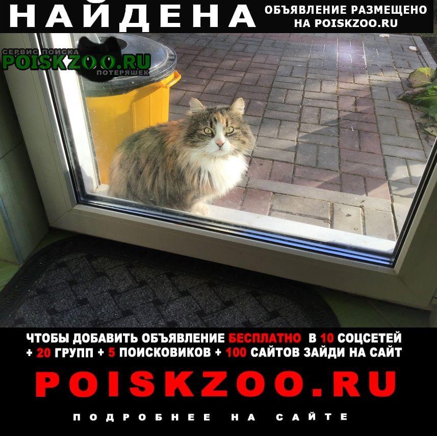 Найдена кошка кошечка, курильский бобтейл, ориентирово Колпино