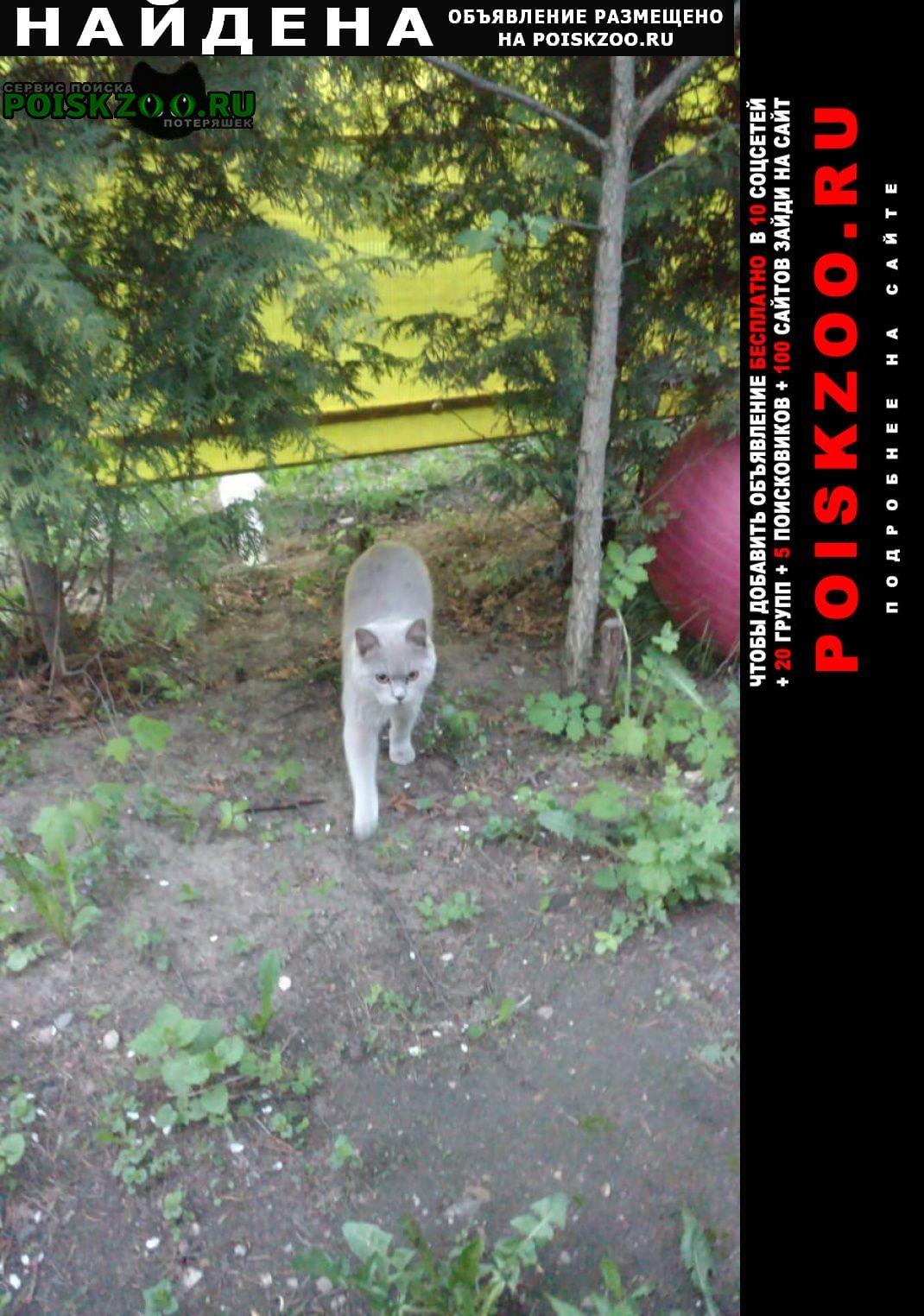 Найден кот -подросток британец Черкизово