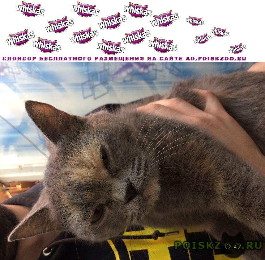 Найдена кошка девочка, британской породы. г.Первоуральск