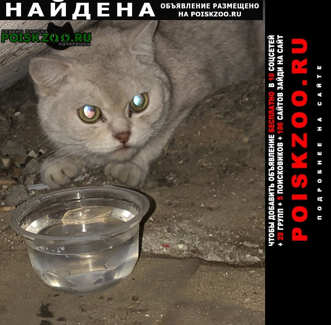 Найдена кошка британска взрослая Москва