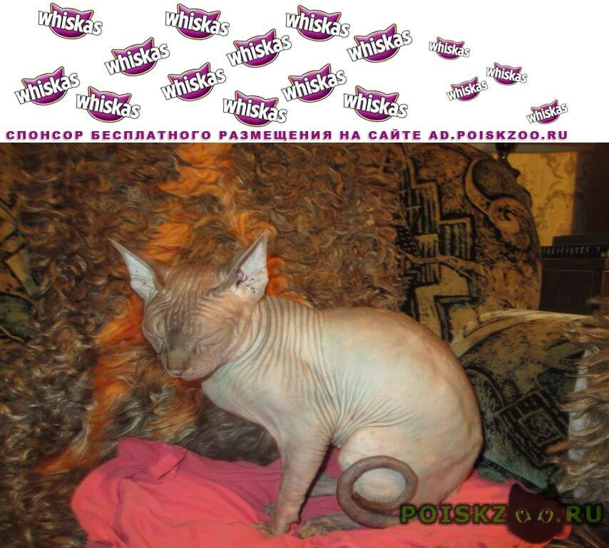 Найден кот сфинкс г.Егорьевск